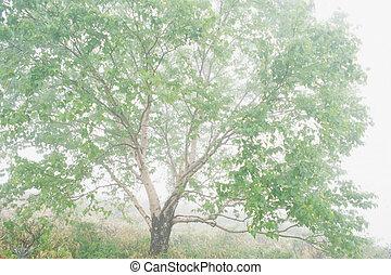 Betula ermanii plateau
