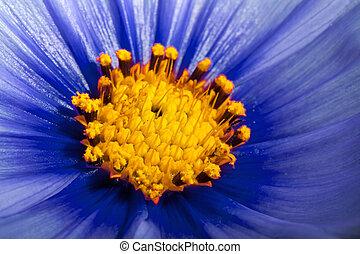 blue Cosmos Flower close up - Blue Cosmos Flower close up...