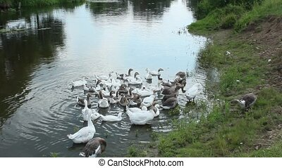 flight of domestic geese - flight of young white geese...