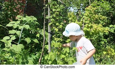 baby gathers raspberries in the garden - baby gathers black...