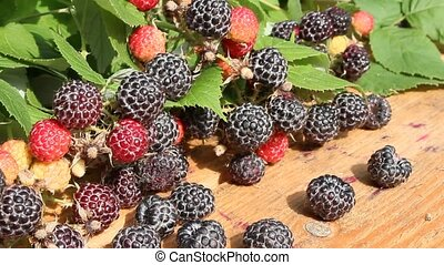 black raspberry fruits - crop of black raspberry with a lot...