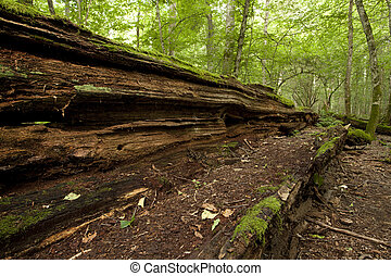 rotten big old tree in natural forest - overturned rotten...