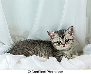Beautiful little tabby kitten on window sill. Scottish Straight breed.