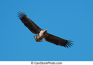 White Tailed Eagle (Haliaeetus albicilla) - White Tailed...