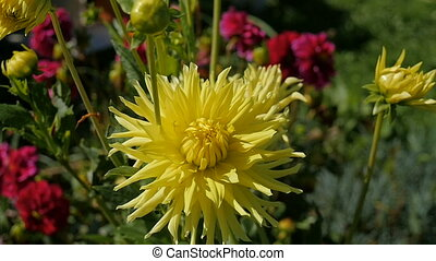 Yellow flower in the home garden. - Yellow flower in the...