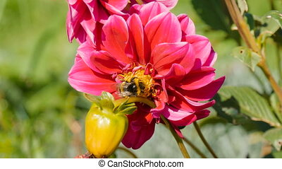 A bee pollinates a flower peony in the home garden close-up
