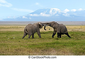 Amboseli National Park - Two male elephant conflict in...