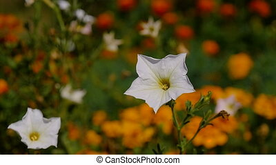 Delicate white flower, swaying in the wind in the garden on...