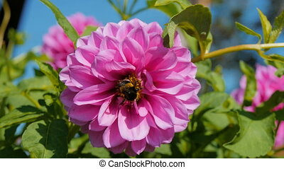 A bee pollinates a flower in the home garden 4K
