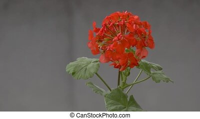 geranium flower swinging slow motion video - on red geranium...