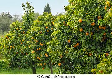laranja, árvores, pomar