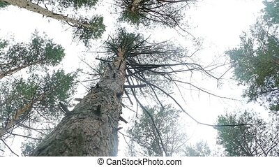 pines crown at the top of slow motion video - cloudy day...