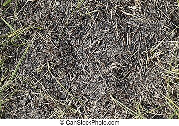 Ordinary ants on an anthill Social insects