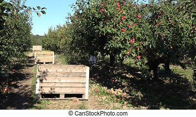 Wooden crates full of apples after picking, workers harvest...