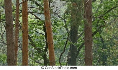 pine trunks in the woods slow motion video - summer trunks...