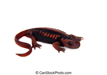 The emperor newt on white - The emperor newt, Tylototriton...
