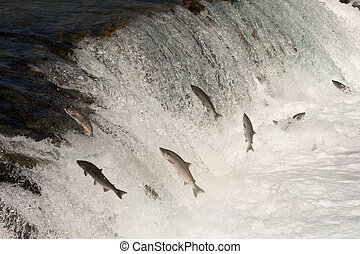 Sockeye salmon jumping - sockeye salmon leaping into the air...