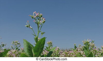 Blossoming tobacco plant, zoom in - Blossoming tobacco plant...