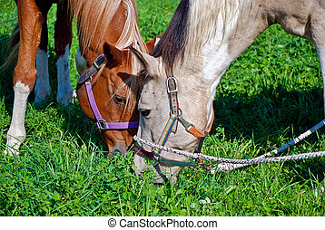 Sharing Dinner - Two horse grazing in alfalfa field