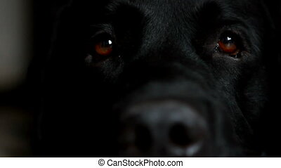 Black Labrador dog looks around.