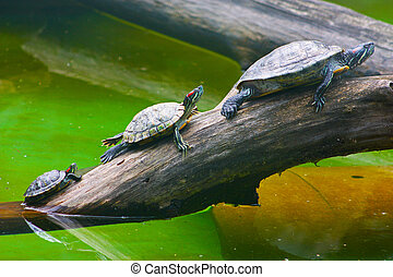 Turtles taken in Kyiv Zoo green water nearby
