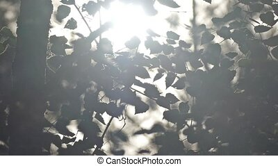sun shining through birch foliage slow motion video - summer...