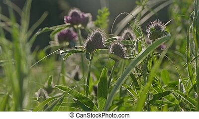 blooming clover slow motion video - flowering clover in a...