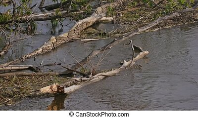dead trees in river water slow motion video - spring day...