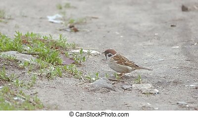 sparrow pecking seeds of trees slow motion video - sparrow...