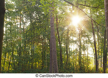 Green forest with sun beam - Green old forest with a sun...