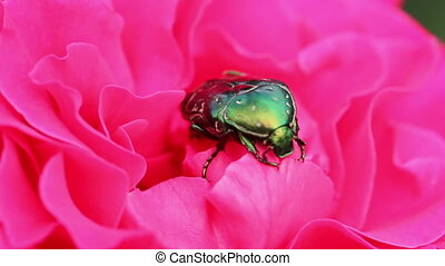 chafer beetle on a flower bud. macro HD
