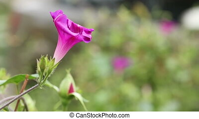 Morning Glory flower sways in the wind HD