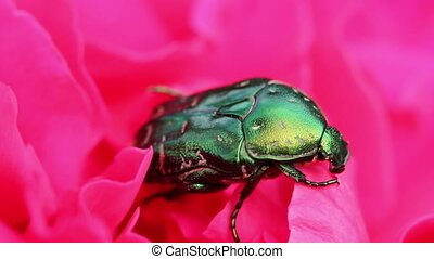 chafer beetle on a flower bud macro HD