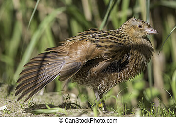 Landrail - Corncrake - showing wing - The corn crake,...
