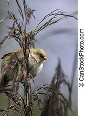 Nature walk bearded reedling - Juvenile male Bearded Tit,...