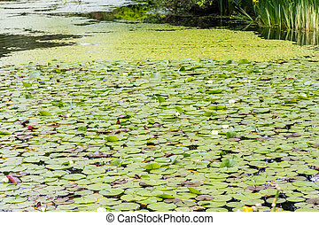 Lily Pads into Distance - Green Lily Pads with Blooms in a...