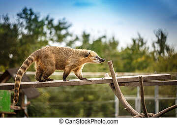 South american coati standing on a branch