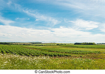 Green field of potatoes Green Gables Shore, Prince Edward...