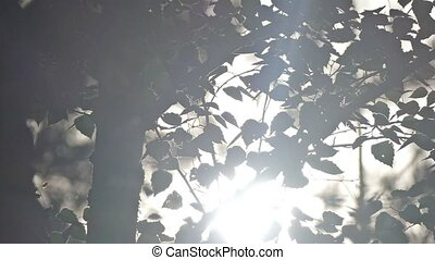 rays of the sun through the leaves of birch slow motion...