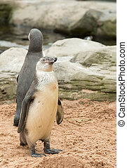Young humboldt penguin