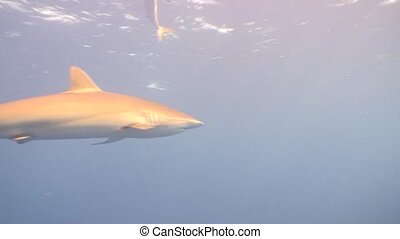 Dangerous Shark Underwater Video Cuba - Underwater Cuba...