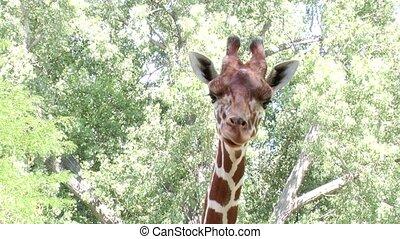giraffe - tall giraffe