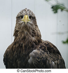 White tailed sea eagle (haliaeetus albicilla) - Adult white...