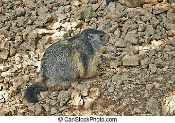 Brown Marmot resting on rocks in a natural reserve