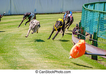 Greyhound racing on the grass at Potts Park, Sydney,...