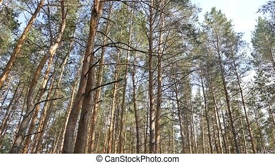 pine trees in the forest slow motion video - pine trees in...