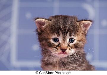 Sad siberian kitten - Sad cute kitten over light blue...