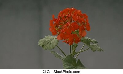 red geranium flowers slow motion video - red geranium...