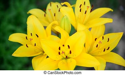 Bouquet of large yellow lilies in garden
