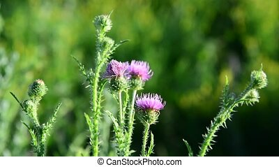 Thistle flower in the meadow at summer - Thistle flower in...